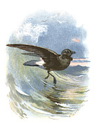 Bird Drawing Posters - Storm Petrel, Historical Artwork Poster by Sheila Terry