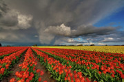 Mount Vernon Photos - Storm Tulips by Mike Reid