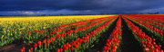 Skagit Valley Posters - Stormy Tulips Poster by Eggers   Photography
