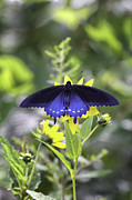 Black Swallowtail Prints - Stovepipe Swallowtail Print by Rob Travis