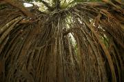 Tree Roots Prints - Strangler Fig Tree, Ficus Virens, Known Print by Tim Laman