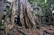 Siem Reap Posters - Strangler fig tree roots covering temple Poster by Sami Sarkis