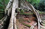 Siem Reap Posters - Strangler fig tree roots on ruins Poster by Sami Sarkis