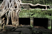 Siem Reap Posters - Strangler fig tree roots on temple Poster by Sami Sarkis