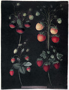 Aquatint Posters - Strawberries Poster by Granger