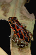 Animalsandearth Photos - Strawberry Poison Dart Frog Dendrobates by Mark Moffett