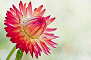 Strawflower Photos - Strawflower by Heidi Smith