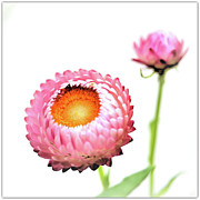 Strawflower Photos - Strawflower by I love Photo and Apple.