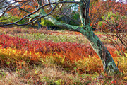 Fall Colors Photos - Streaks of Color - Dolly Sods by Dan Carmichael