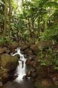 Growing Out Of Rock Framed Prints - Stream Running Through The Rainforest Framed Print by Robert Postma