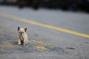 Yellow Line Photo Posters - Street Kitten On Road Poster by Carlina Teteris