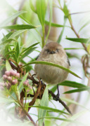 Orange County Art - Strike a pose -- Bushtit female by Carl Jackson