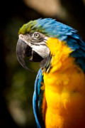 Blue And Yellow Macaw Prints - Strike a pose Print by Carl Jackson