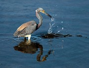 Tri Colored Heron Photos - Strike Out by Adam Jewell