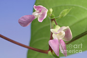 Snap Photos - String Bean Flower by Ted Kinsman