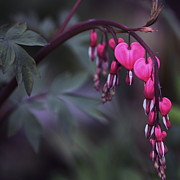 Bleeding Heart Photos - String of Hearts 2 by Marjorie Imbeau