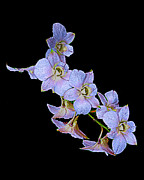 Orchids Art Print Prints - String of Light Blue Orchids Print by Merton Allen