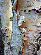 Peeling Bark Prints - Strip Tease Print by Pamela Patch