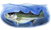 Striped Drawings - Striped Bass by Dave Olsen