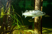 Fish Tank Framed Prints - Striped bass in aquarium tank on Cape Cod Framed Print by Matt Suess