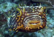 Swimming Fish Photos - Striped Burrfish On Caribbean Reef by Karen Doody