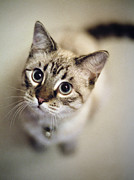 Staring Cat Photos - Striped Cat Looking Up by Danielle D. Hughson