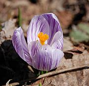 Digital Photography - Striped Crocus by David Lane