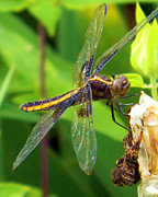J.p. Prints - Striped Dragonfly Print by Mark J Seefeldt