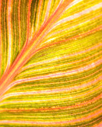 Canna Photo Metal Prints - Striped Leaf Metal Print by Bonnie Bruno