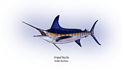 Game Fish Drawings Framed Prints - Striped Marlin Framed Print by Ralph Martens