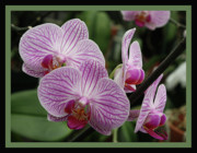 Orchids Art - Striped Orchids with Border by Carol Groenen