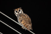 Neotropics Posters - Striped owl at night  Poster by Craig Lapsley