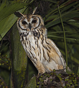 Neotropics Posters - Striped Owl In Tree Poster by Craig Lapsley