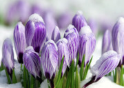 Snow Spring Prints - Striped Purple Crocuses in the Snow Print by Sharon  Talson