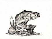 Bass Drawings Prints - Striper Print by Kathleen Kelly Thompson