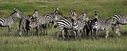 Great Migration Acrylic Prints - Stripes - Serengeti Plains Acrylic Print by Craig Lovell