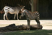 Zebra Pyrography - Stripes 2 by Stephanie Hopkins