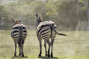 Zebras Prints - Strolling Home Print by Rebecca Cozart