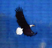 Eagle Paintings - Strong Eagle in Blue by Clarence Alford