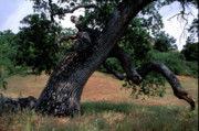 Tree Photographs Prints - Strong Old Oak Print by Kathy Yates