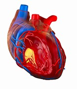 Left Atrium Prints - Structure Of A Human Heart, Artwork Print by Roger Harris