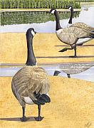 Geese Painting Prints - Struttin thier Stuff Print by Catherine G McElroy
