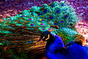 Iridescent Prints - Strutting His Stuff Print by David Patterson