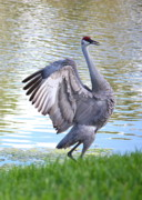 Prancing Bird Framed Prints - Strutting Sandhill Crane Framed Print by Carol Groenen