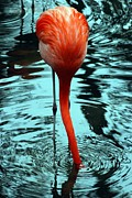 Flamingos Acrylic Prints - Stuck Acrylic Print by Kendra Clayton