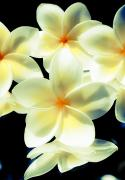Filter Prints - Studio Plumerias Print by Joe Carini - Printscapes