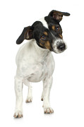 Fox Terrier Posters - Studio Portrait Of Smooth Fox Terrier Puppy Poster by Jupiterimages
