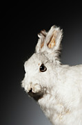 Hare Posters - Studio Shot Of Stuffed Rabbit Poster by Johner Images