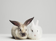 Two By Two Framed Prints - Studio Shot Of Two Bunnies Framed Print by Roger Wright