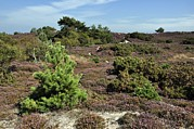 Open Sky Prints - Studland Heath Print by Colin Varndell